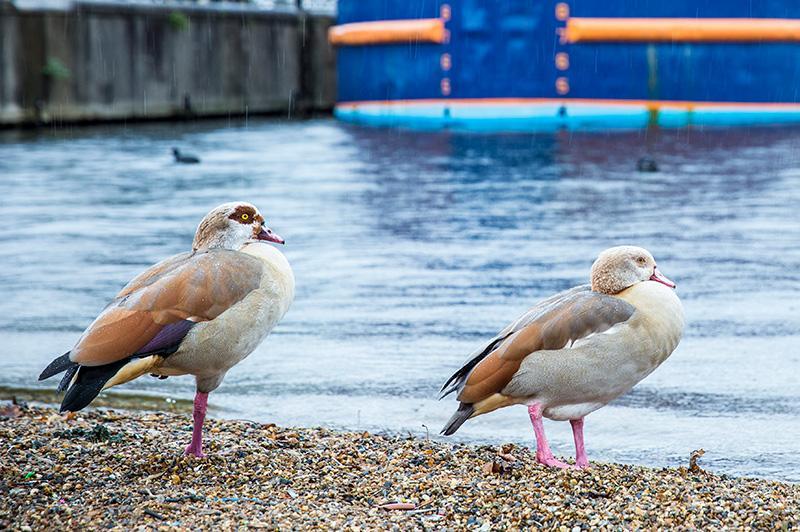 Ducks at the Royal Docks