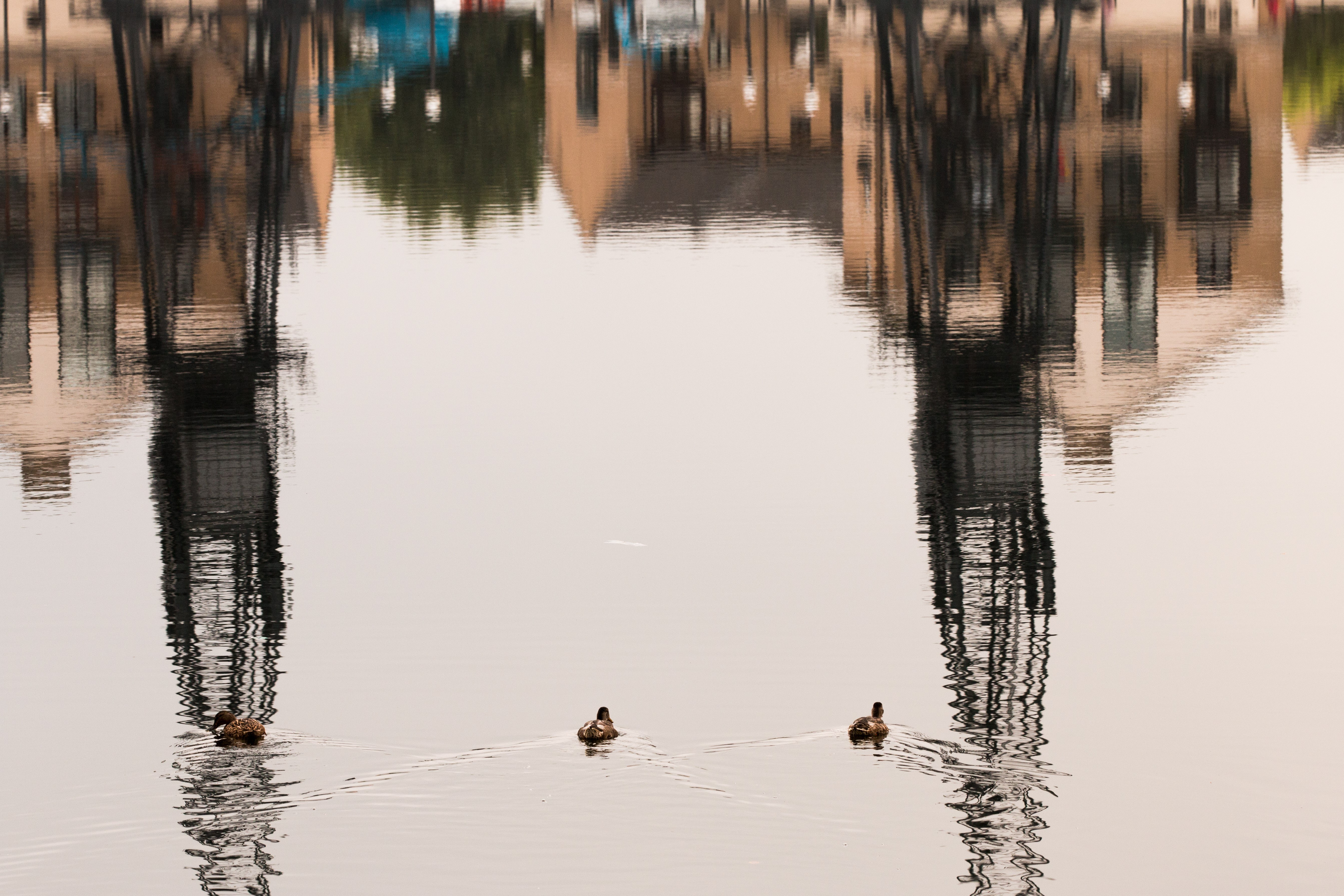 Three birds swimming in the water at the Royal Docks