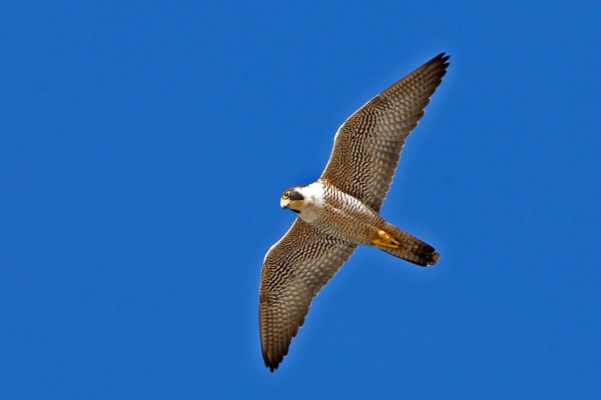 A peregrine falcon in flight